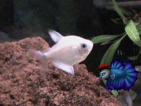 How To Breed White Skirt Tetras-Care For- Gender-Fry Care ...