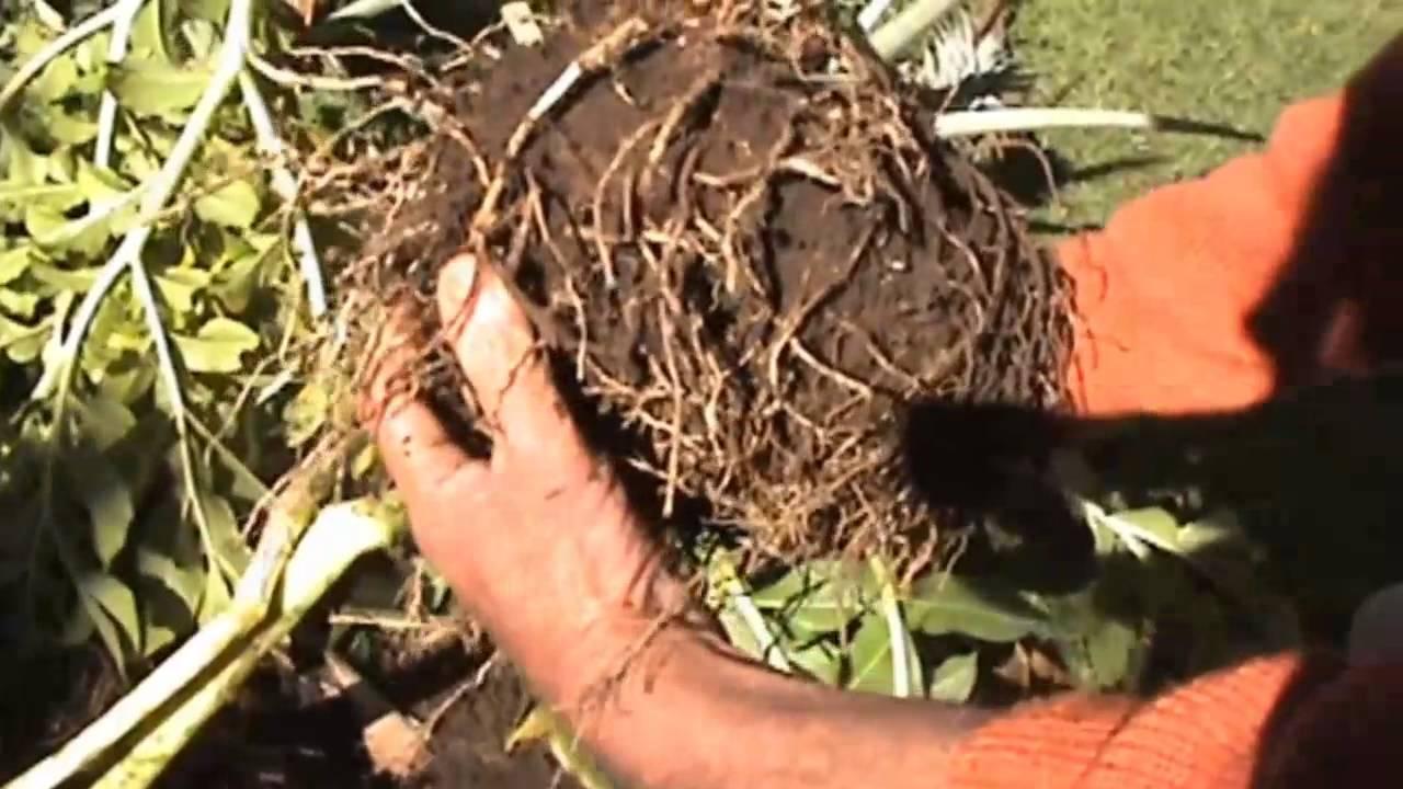 Harvesting Elephant Foot Yam Amorphophallus Exciting Youtube