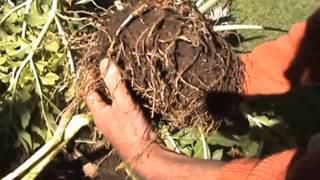Harvesting Elephant Foot Yam (amorphophallus)...exciting!!!
