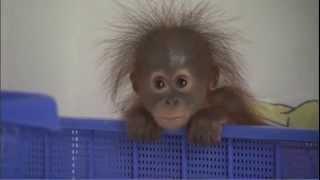 Repeat youtube video Adorable Baby Orangutans