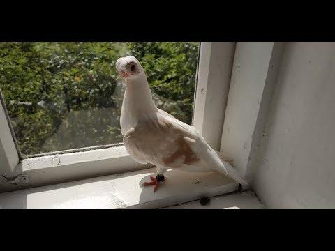 Уход за голубями: освещение, кормление, выгул. Ответ зрителю канала.