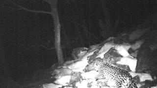 Опасен ли дальневосточный леопард для человека?