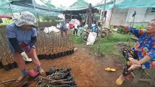 Lô Mít Thái Siêu Sớm Gốc Vừa _ Giá Rẻ Bất Ngờ _ 0907773733