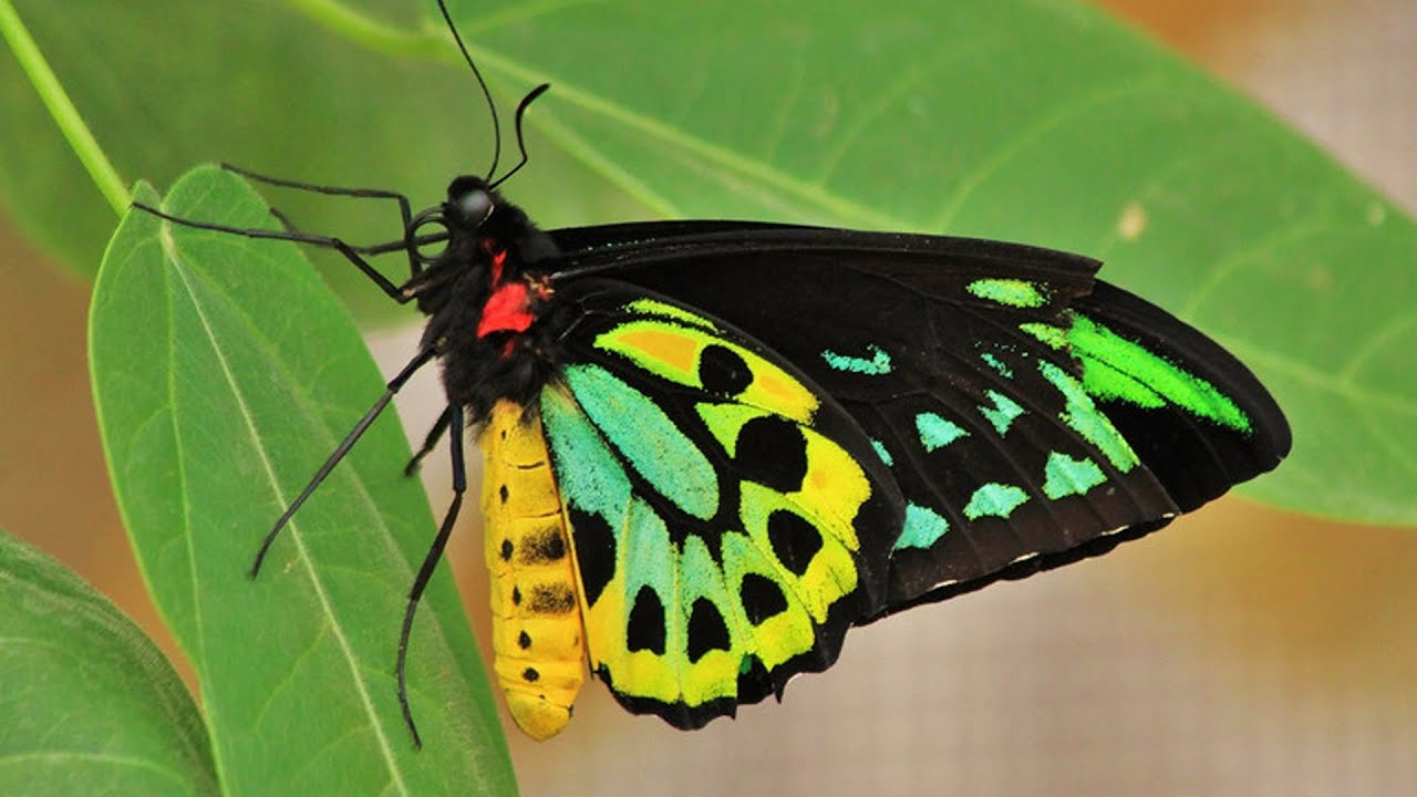 Most Beautiful Butterflies In The World Flying