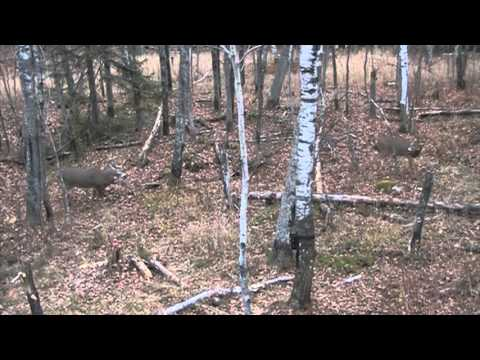 11 point buck taken with bow Self filmed