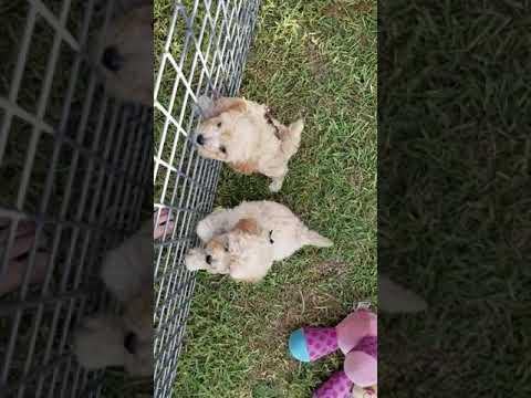 Bichoodle and mini cavoodle pups