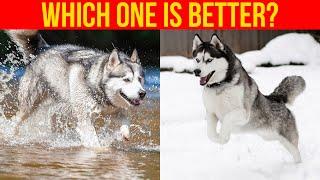 Alaskan Malamute VS Siberian Husky, (Comparing Dog Breeds)