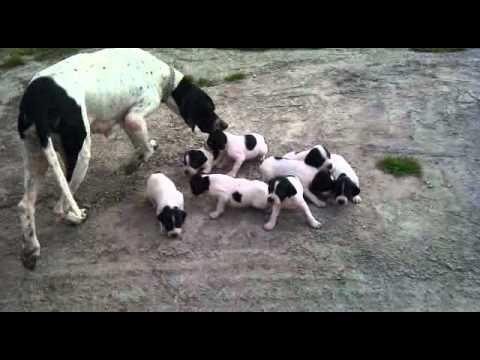"Cachorros Cool x Xana ""Pointer Del Azabache Astur"""