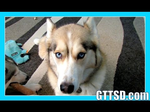 husky-puppy-or-rescue?-|-fan-friday-186