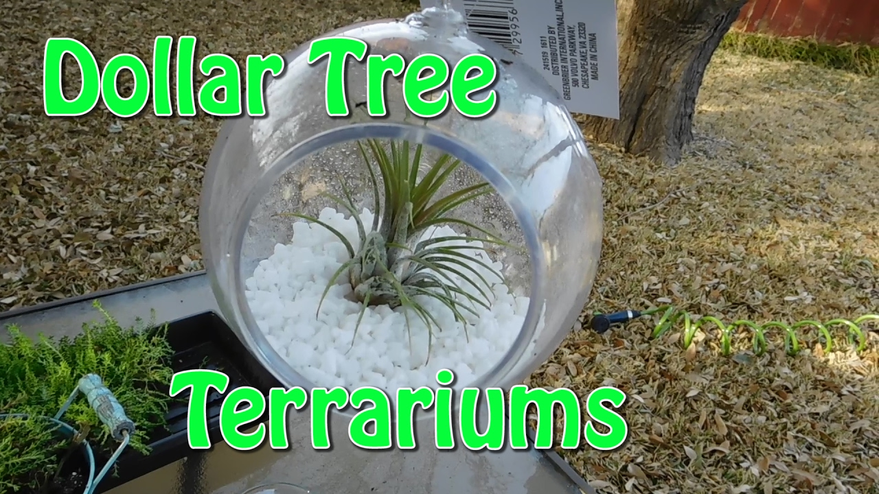 Dollar Tree Terrariums Air Plants And Succulents Youtube