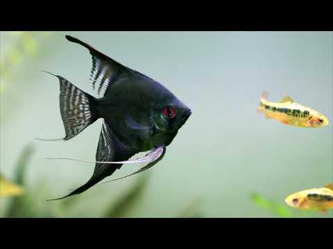 Рыбка скалярия. Моя история.