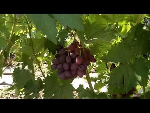 Ультраранние сорта винограда на 22.07.2018 Часть 2