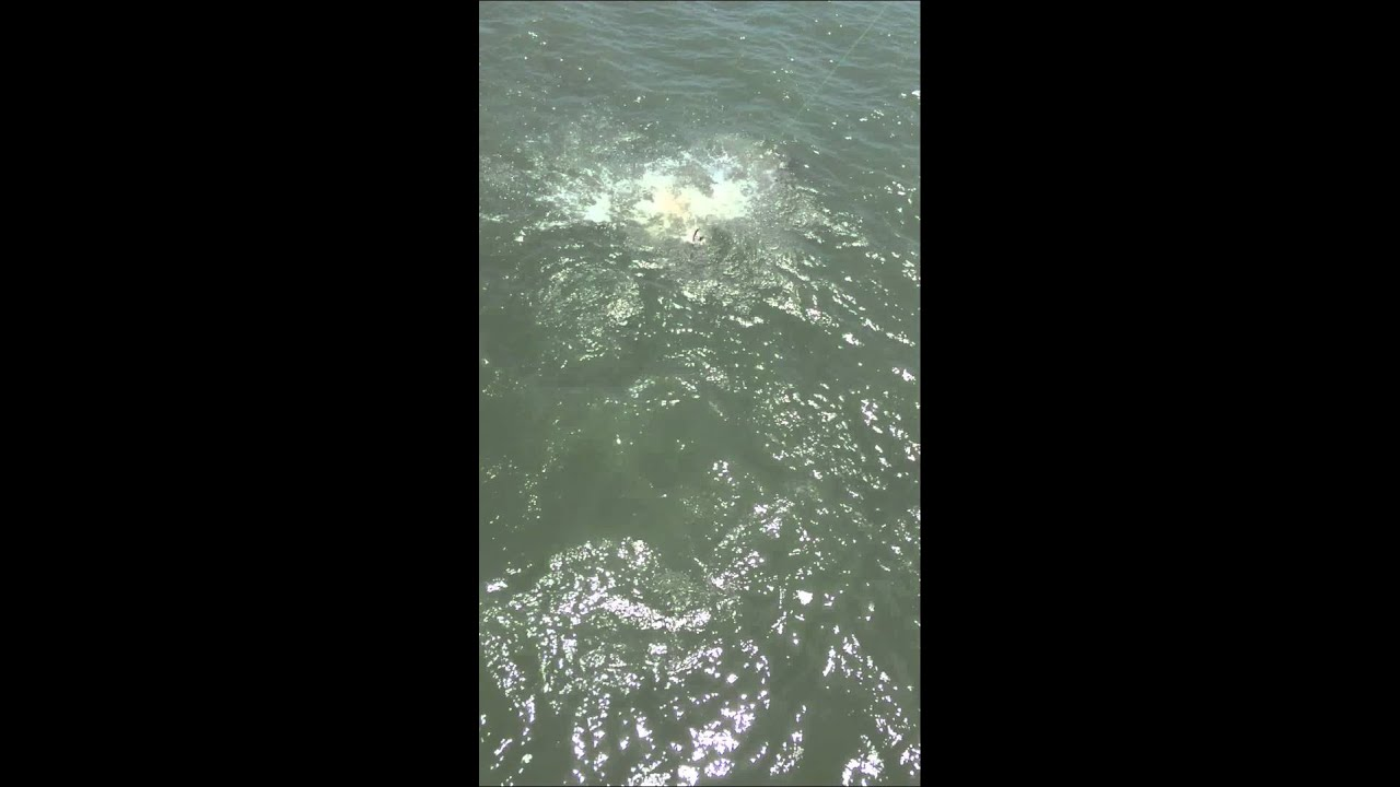 Shark week shark attacks stingray at apache pier while for Shark fishing myrtle beach