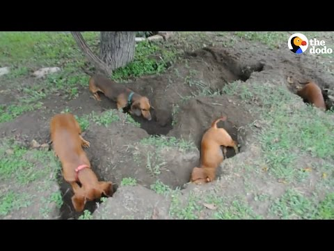 Dachshunds Dig The Best Holes | The Dodo