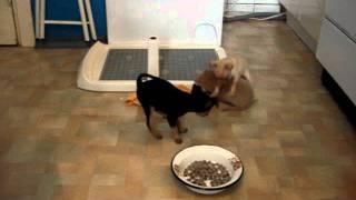 Купить щенка той-терьера в Москве