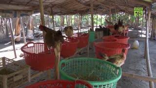 Mô hình nuôi gà thả vườn lớn nhất An Giang - Khởi nghiệp nuôi gà thả vườn