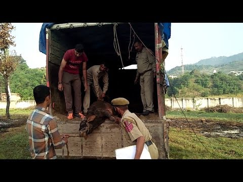 Bovine smuggling foiled in Rajouri