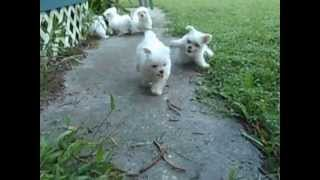 AKC Maltese Available Now in Tampa, FL