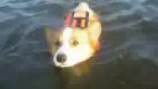 Goro@welsh Corgi 20080725 Swimming