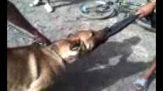 kam malinois chien kenitra ouled oujih