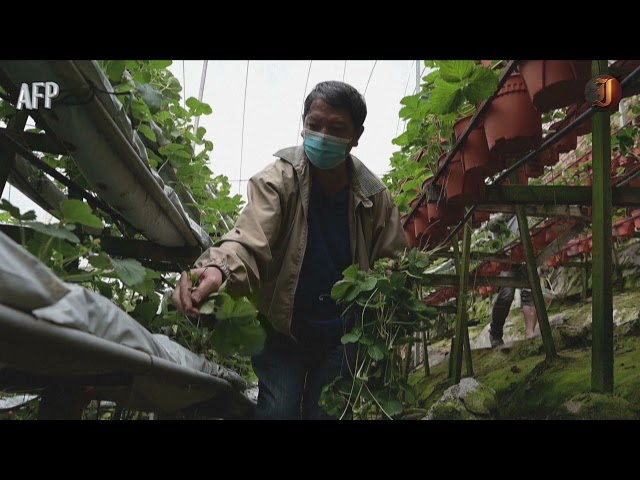Malaysia's highland farmers fight for survival in pandemic