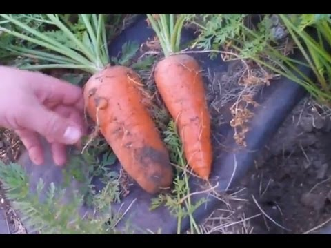 How To Grow Huge Carrots With Fish Fertilizer