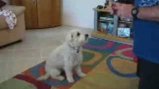 Cairn Terrier/doing Tricks