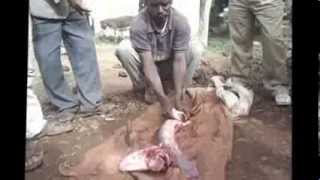 Fish Slaughtering in Ethiopia