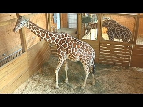 Thumbnail: Is April The Giraffe's Pregnancy One Big April Fools' Day Prank?