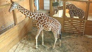 Is April The Giraffe's Pregnancy One Big April Fools' Day Prank?