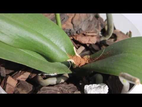 У орхидеи сгнила точка роста. Не всё потеряно  !
