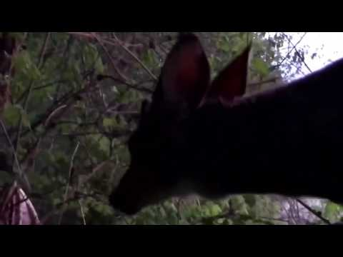 Curious deer fearlessly cozies up to hunters in Indiana