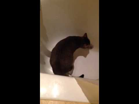Remarkable, useful cat peeing in bathtub necessary words