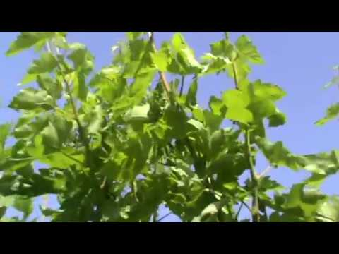 Organic Farming Best GRAPES India Agriculture World