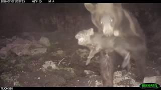 Успешная ночная охота медведя на кабанов