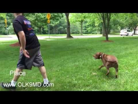 High Prey Drive Pit Bull; learns obedience with Off Leash K9 Training, Maryland