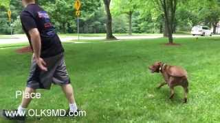High Prey Drive Pitt Bull; Learns Obedience With Off Leash K9 Training, Maryland