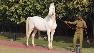 Nuka Stallion Maharaja of Ex Dy CM Sr Sukhbir singh Badal