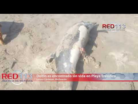 VIDEO Delfín es encontrado sin vida en Playa Eréndira