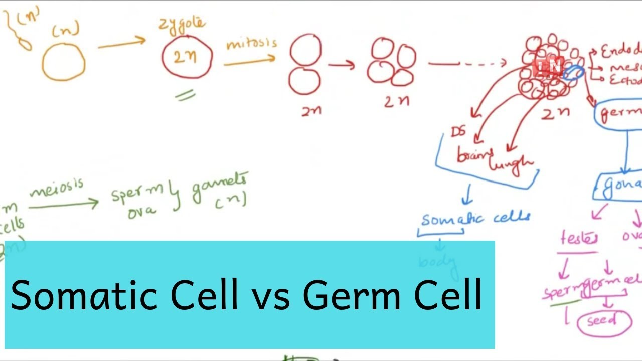 somatic cell germ cell what is the difference  [ 1280 x 720 Pixel ]