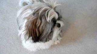 Shih Tzu Puppy Lacey Being Goofy, Chasing Tail, Running Up And Down Hallway