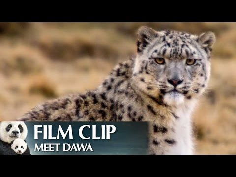 """Meet Dawa"" Clip - Disneynature's Born in China"