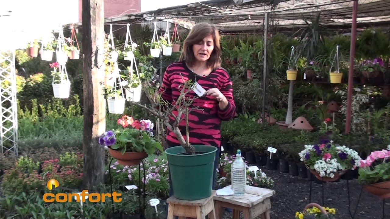 Vivero alegria poda y cuidado de plantas youtube - Alegria planta cuidados ...