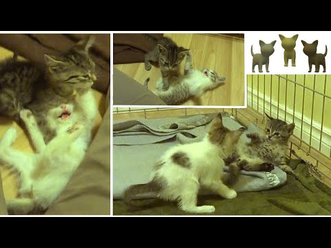 Adorable Foster Kittens Play Fighting