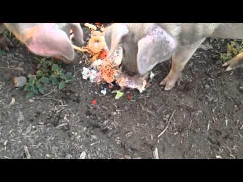 Feeding pigs in slow mo 120 fps