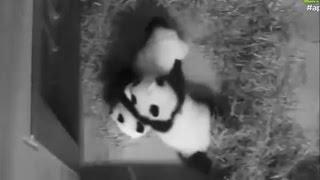 12-16-2016 Ya Lun & Xi Lun: Tussles & Tackles