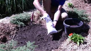 How to Plant Rose of Sharon Plants