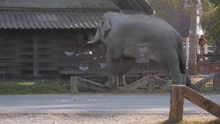 Wild Bull Elephant in Musth, Khao Yai National Park, Thailand. Part2