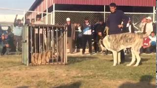 Alabai vs Real Wolf reaction test ( Part 2 )