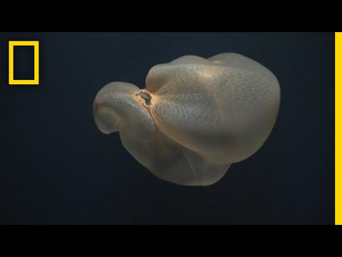 Mysterious Deep-Sea Jellyfish Filmed In Rare Sighting | National Geographic